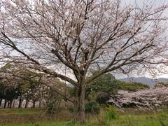 310404桜.JPG
